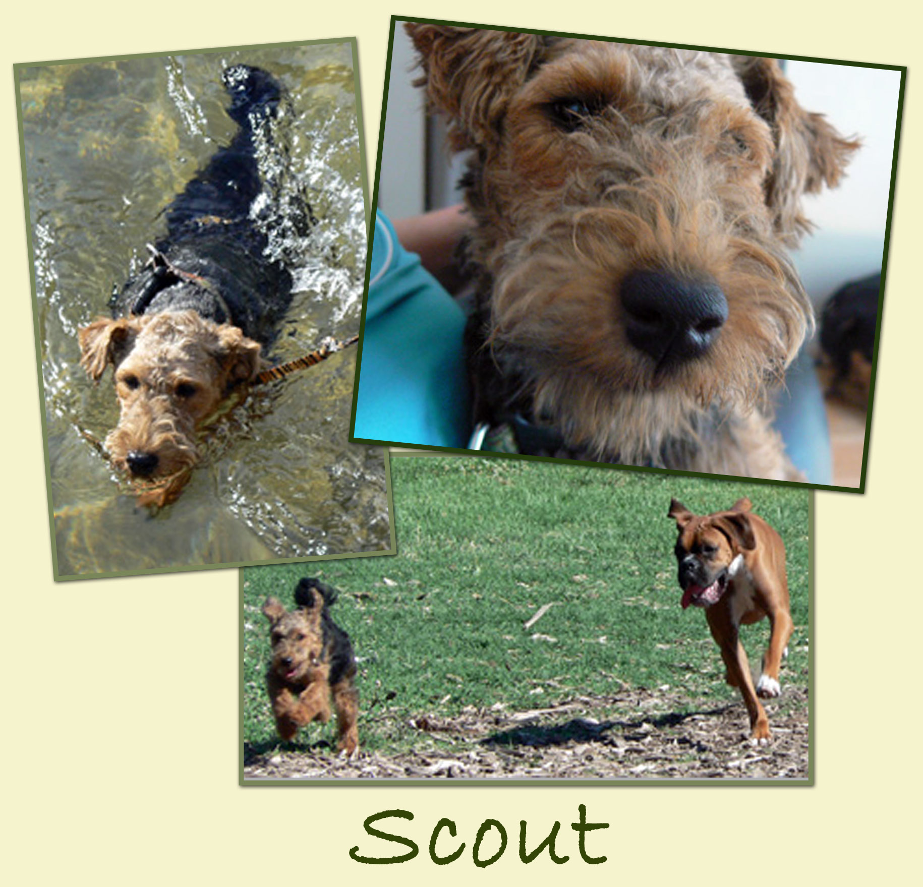 Tollgate Welsh Terriers